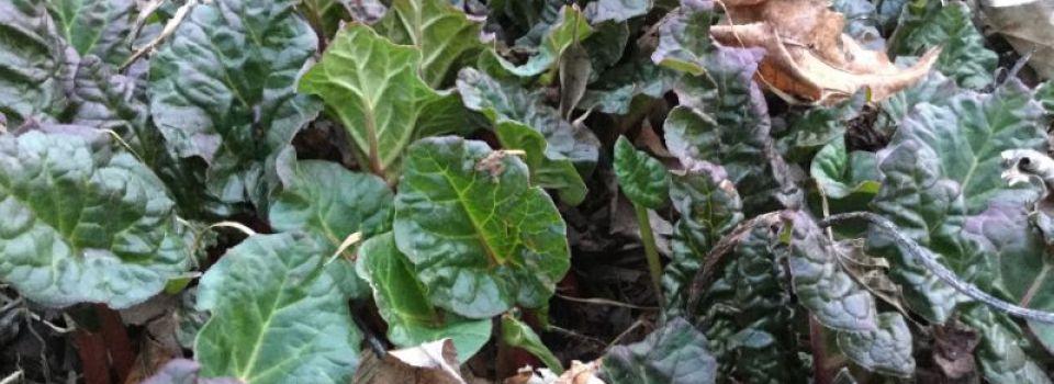 SPR_Rhubarb294.jpg